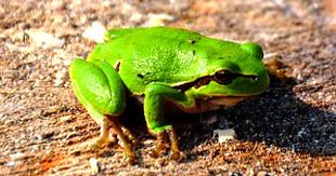 froscharten weltweit bersicht gr te frosch kleinste frosch giftigste froschart der erde. Black Bedroom Furniture Sets. Home Design Ideas