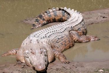 krokodile in australien es gibt zwei arten das gef hrliche leistenkrokodil salzwasser. Black Bedroom Furniture Sets. Home Design Ideas