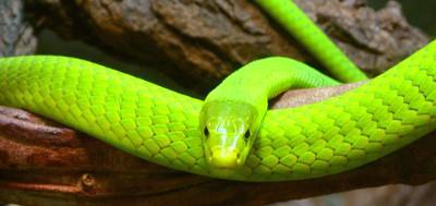 giftschlangen es gibt mehr als 300 giftschlangen arten die giftigsten schlangen der erde. Black Bedroom Furniture Sets. Home Design Ideas