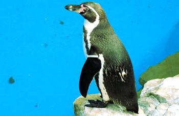 pinguinarten liste aller 17 pinguin arten mit kurzer beschreibung. Black Bedroom Furniture Sets. Home Design Ideas