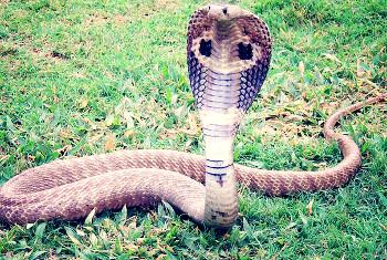 schlangenarten bersicht ber schlangen weltweit schlangen arten verbreitung und giftschlangen. Black Bedroom Furniture Sets. Home Design Ideas
