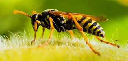 wespenarten bersicht ber wichtige wespen und hornissen arten auf der welt und in deutschland. Black Bedroom Furniture Sets. Home Design Ideas